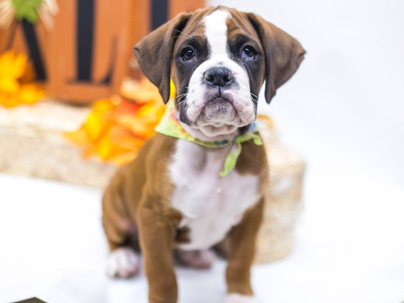 Boxer-Male-Flashy Mahogany-2863322-Petland Wichita, KS