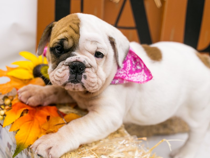 English Bulldog-Female-White & Red-2871635-Petland Wichita, KS