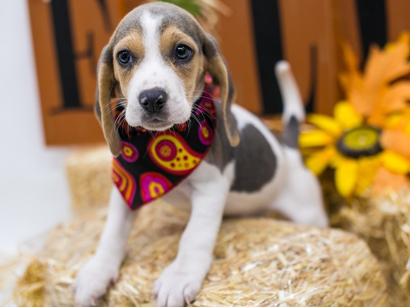 Beagle-DOG-Female-Blue Tri-2871220-Petland Wichita, KS