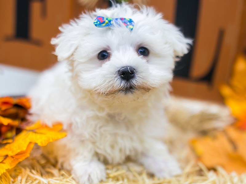 Maltese-Female-White-2870312-Petland Wichita, KS