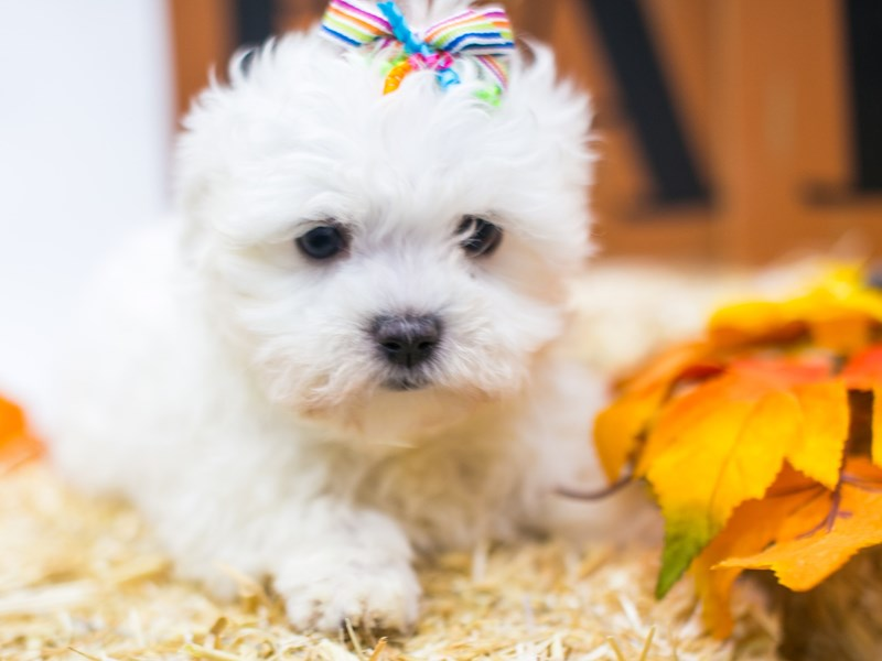 Maltese-Female-White-2870302-Petland Wichita, KS