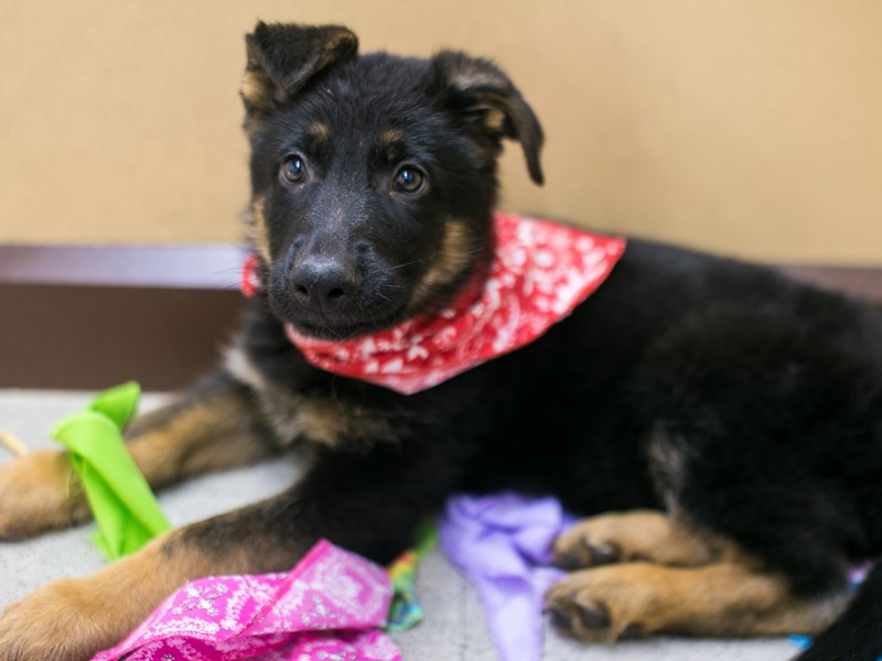 German Shepherd-Male-Black & Tan-2871557-Petland Wichita, KS