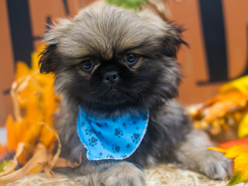 Pekingese-Male-Sable-2871402-Petland Wichita, KS