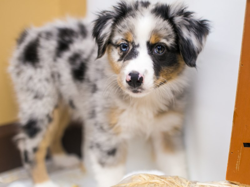 Mini Border Aussie-Female-Blue Merle White & Tan-2871628-Petland Wichita, KS