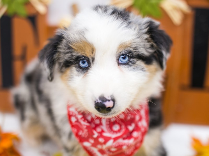 Miniature Australian Shepherd-Male-Blue Merle-2878169-Petland Wichita, KS
