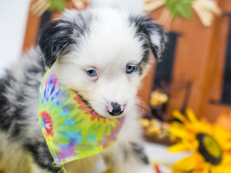 Miniature Australian Shepherd-Male-Blue Merle With White Face-2878167-Petland Wichita, KS