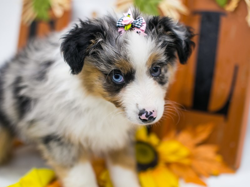 Miniature Australian Shepherd-Female-Blue Merle-2878164-Petland Wichita, KS