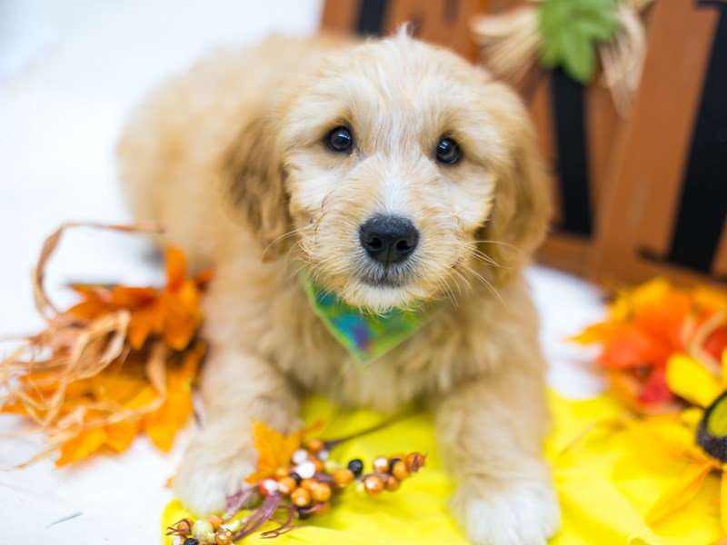 Mini Goldendoodle-Male-Dark Gold-2878161-Petland Wichita, KS