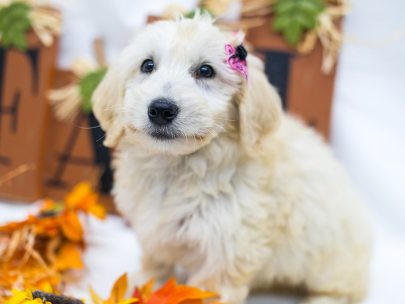 Mini Goldendoodle-Female-Golden-2878157-Petland Wichita, KS