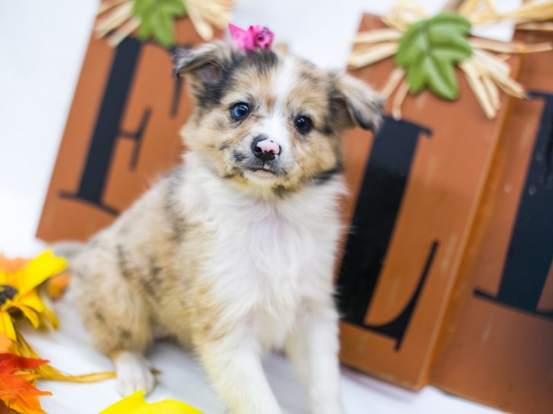 Miniature Australian Eskimo-DOG-Female-Merle w/Half Blue Eye-2884887-Petland Wichita, KS