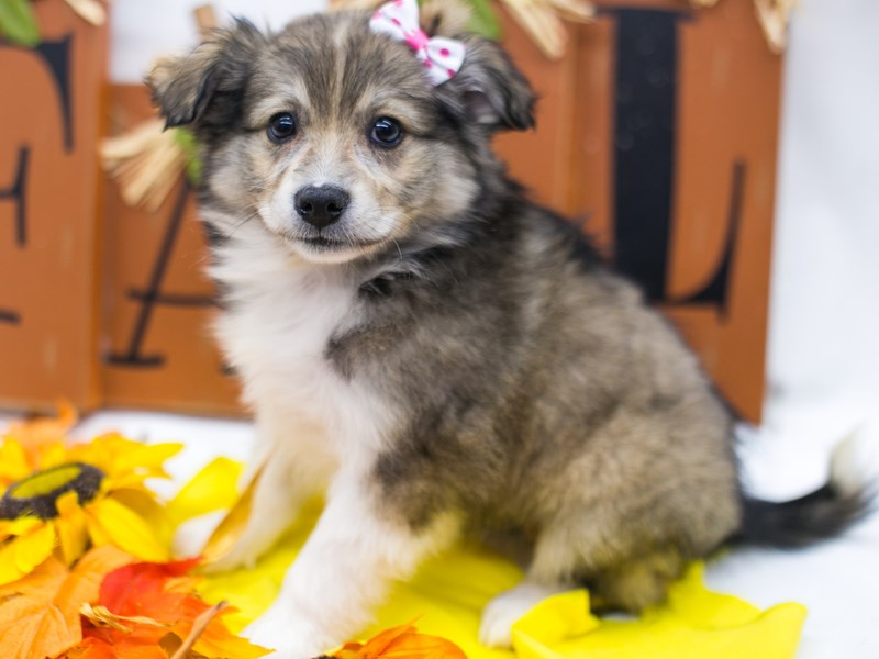 Miniature Australian Eskimo-DOG-Female-Dark Sable-2884885-Petland Wichita, KS