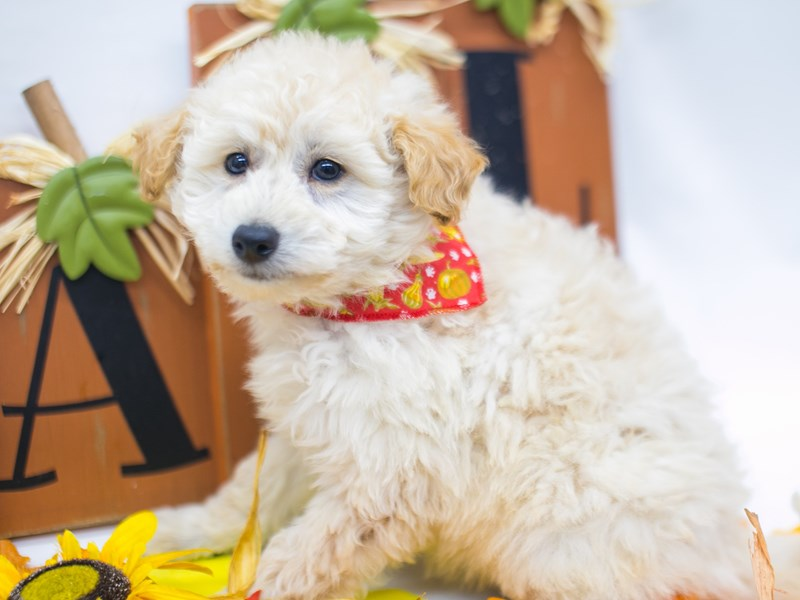 Mini EskiPoo-Male-Cream-2884871-Petland Wichita, KS