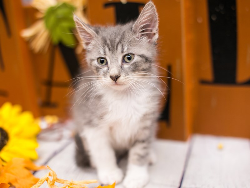 Adopt A Pet Kitten-Male-Grey & White Tabby Medium Hair-2891875-Petland Wichita, KS