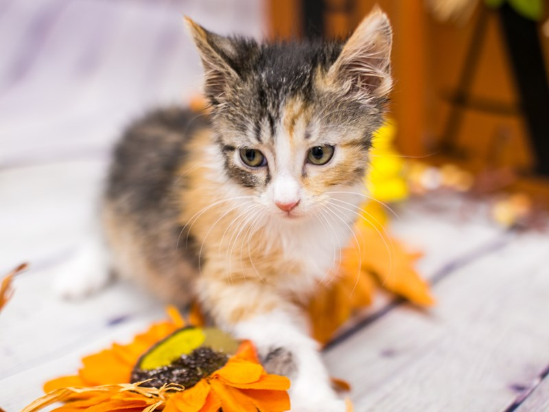 Adopt A Pet Kitten-CAT-Female-Calico Medium Hair-2891874-Petland Wichita, KS