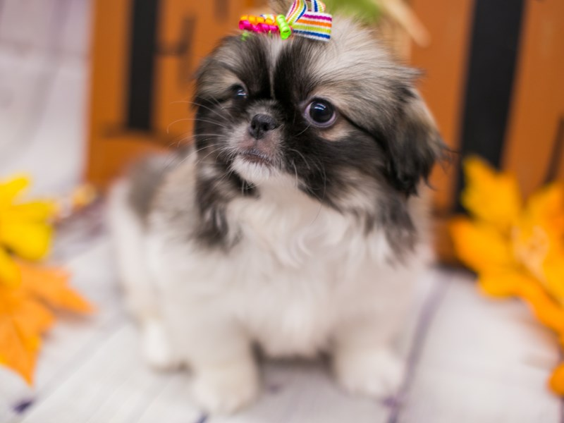 Pekingese-Female-Sable & White-2891262-Petland Wichita, KS