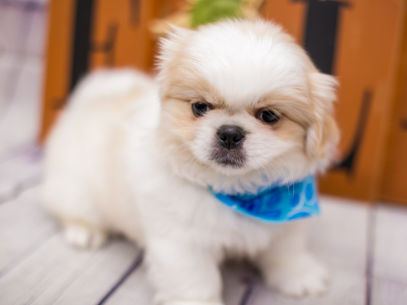 Pekingese-Male-Cream And White-2891247-Petland Wichita, KS