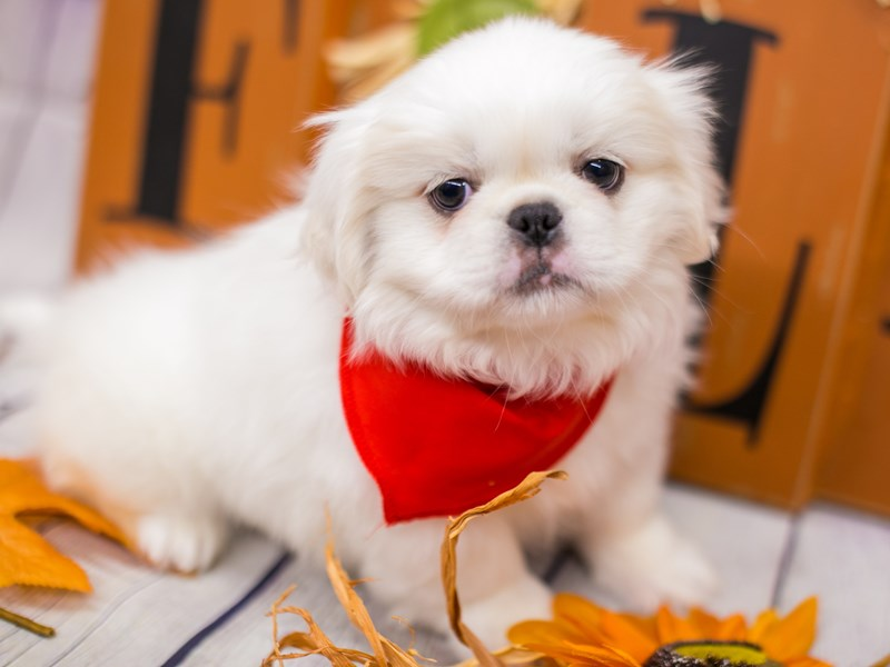 Pekingese-DOG-Male-White-2891224-Petland Wichita, KS
