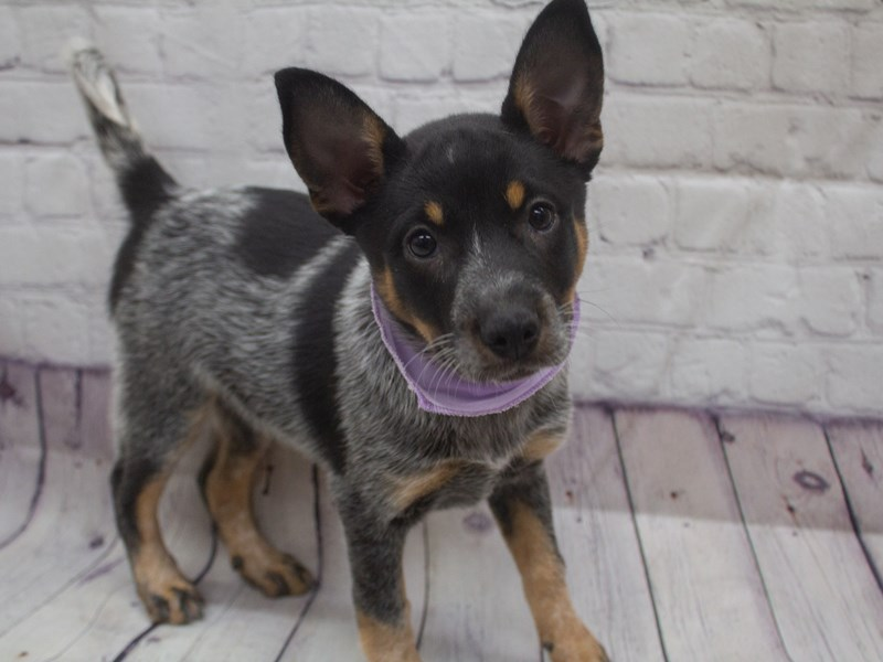Australian Cattle Dog-DOG-Female-Blue Heeler-2898866-Petland Wichita, KS