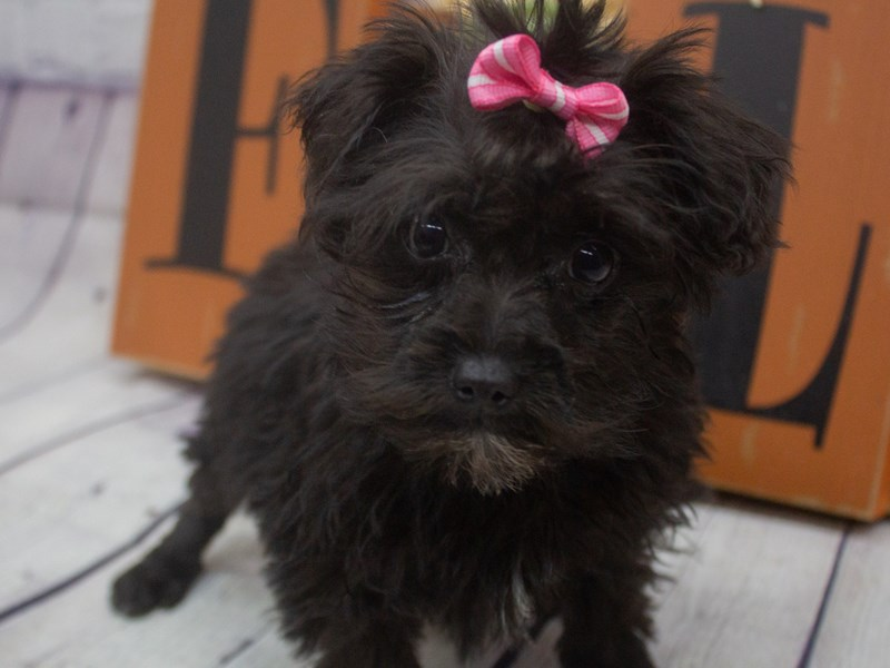 Toy YorkiePoo-DOG-Female-Black-2898838-Petland Wichita, KS
