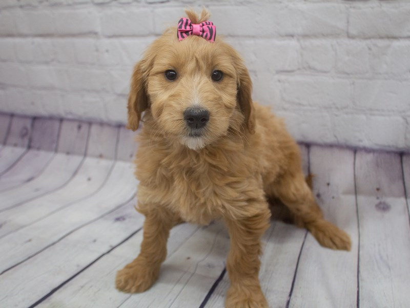Mini Goldendoodle-Female-Red-2898451-Petland Wichita, KS