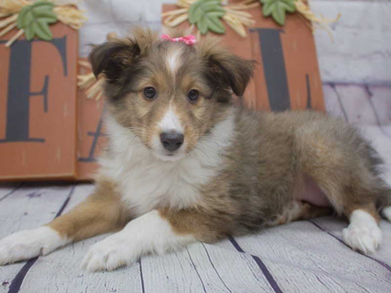 Shetland Sheepdog-Female-Sable-2898005-Petland Wichita, KS