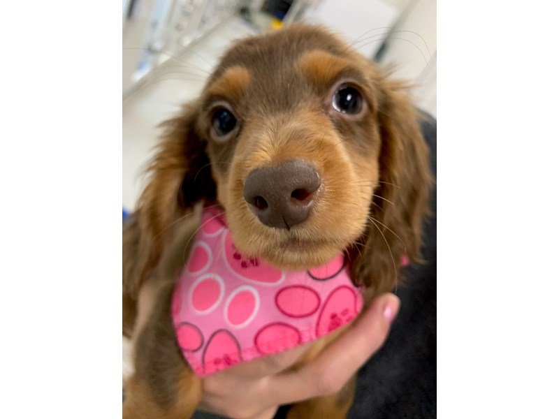 Miniature Dachshund-Female-Long Hair Chocolate & Tan-2898772-Petland Wichita, KS