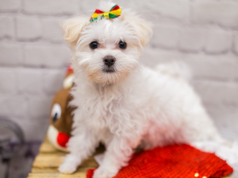 Maltese-Female-White-2898644-Petland Wichita, KS