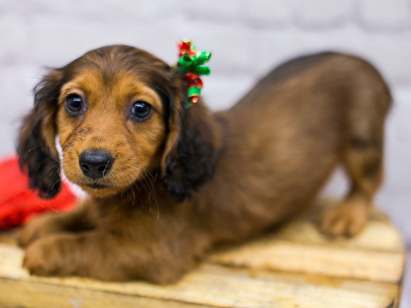 Miniature Dachshund-Female-Chocolate & Tan Long Hair-2905053-Petland Wichita, KS