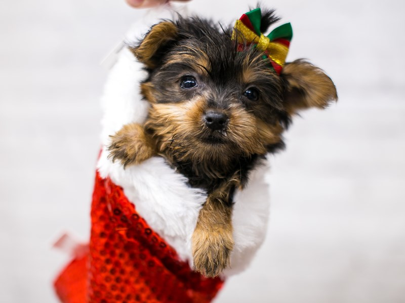 Yorkshire Terrier-Female-Black & Tan-2905068-Petland Wichita, KS