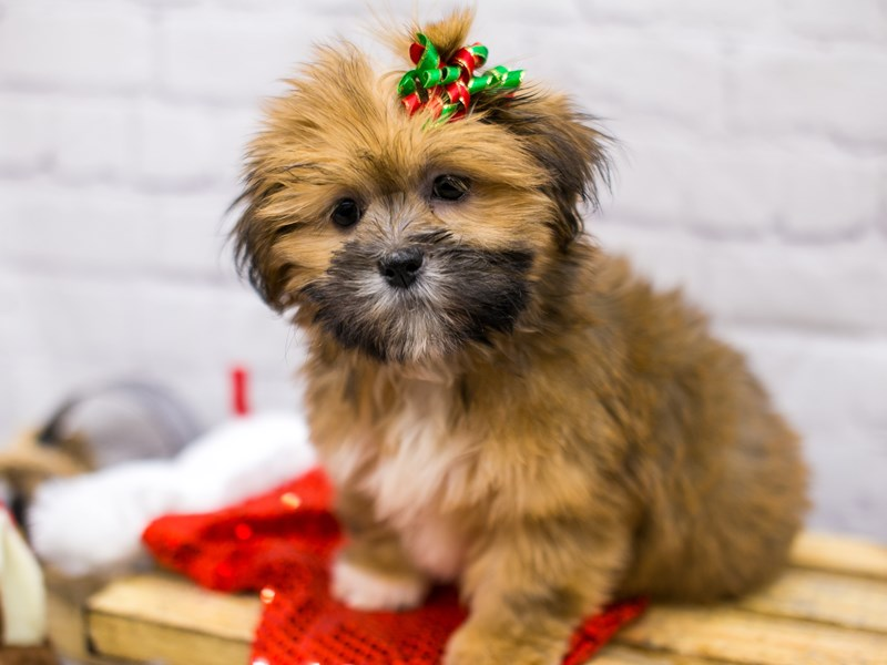 Lhasa Apso-DOG-Female-Golden-2905880-Petland Wichita, KS
