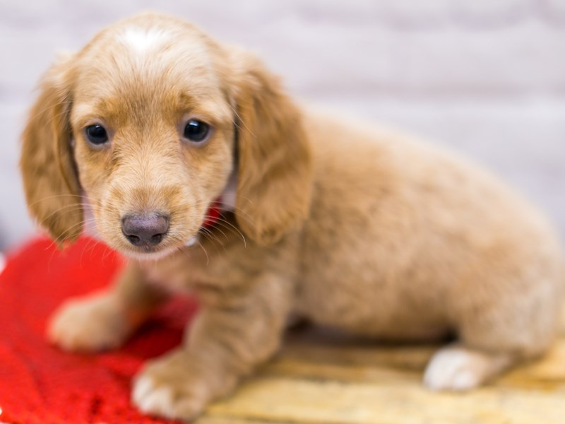 Miniature Dachshund-Female-Cream Long Haired-2905849-Petland Wichita, KS