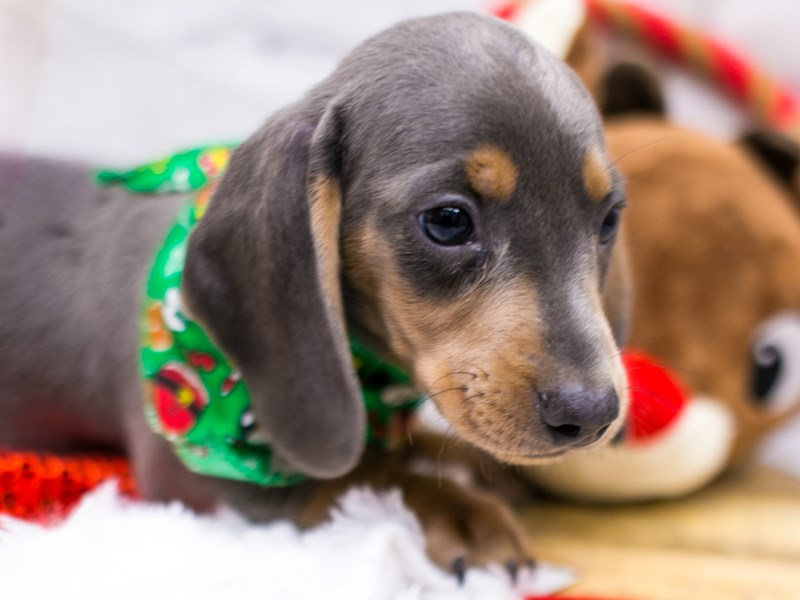 Miniature Dachshund-Male-Short Hair Blue & Rust Isabella-2905833-Petland Wichita, KS