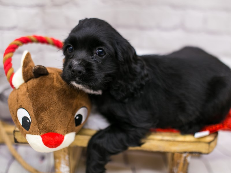 Cocker Spaniel-Female-Black & White-2905898-Petland Wichita, KS