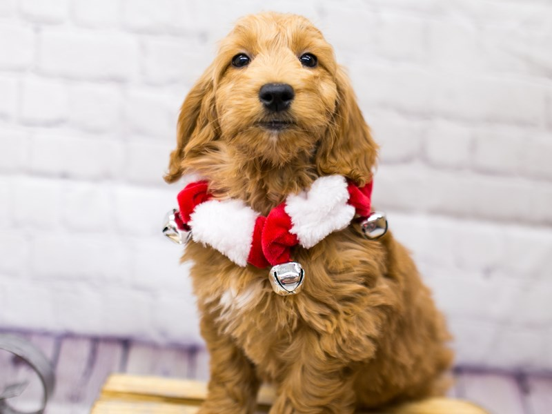 Mini Goldendoodle-Female-Red-2898455-Petland Wichita, KS