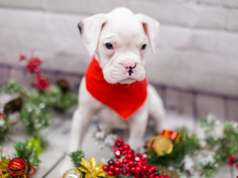 Boxer-Male-White w/Brindle spot on ear-2911507-Petland Wichita, KS