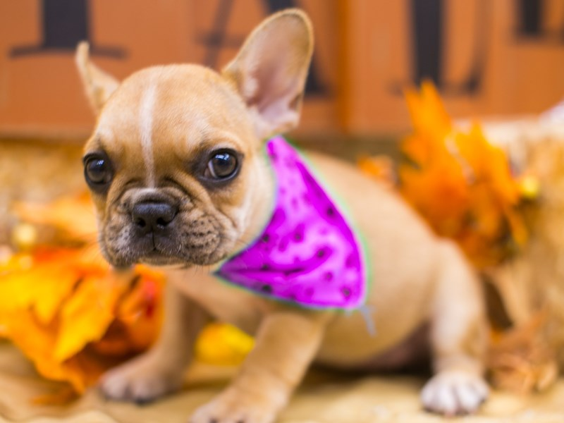 French Bulldog-Female-Fawn & White-2834903-Petland Wichita, KS