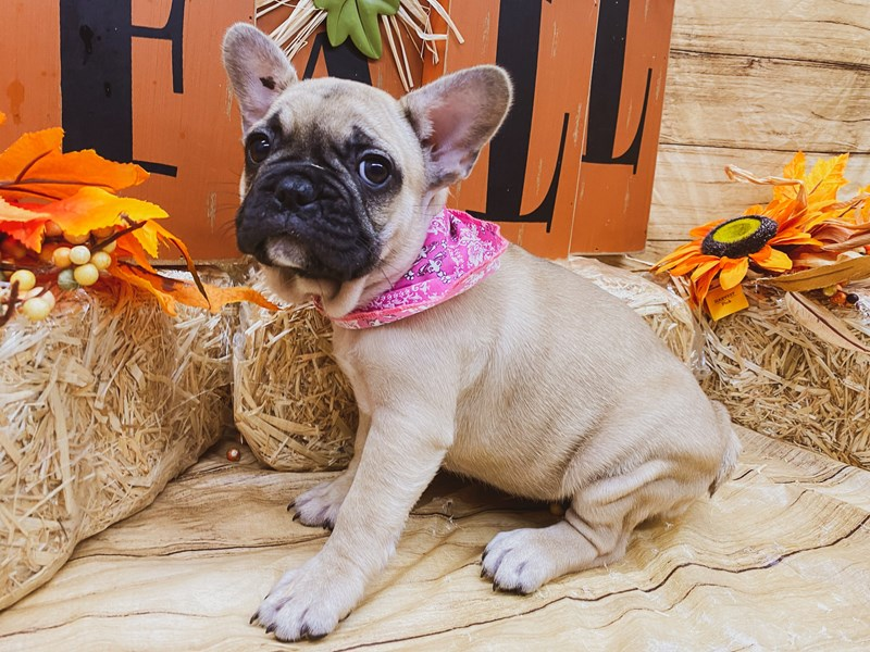 French Bulldog-Female-Fawn Black Mask-2856685-Petland Wichita, KS