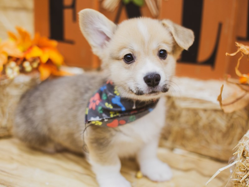 Pembroke Welsh Corgi-Male-Red & White-2856628-Petland Wichita, KS