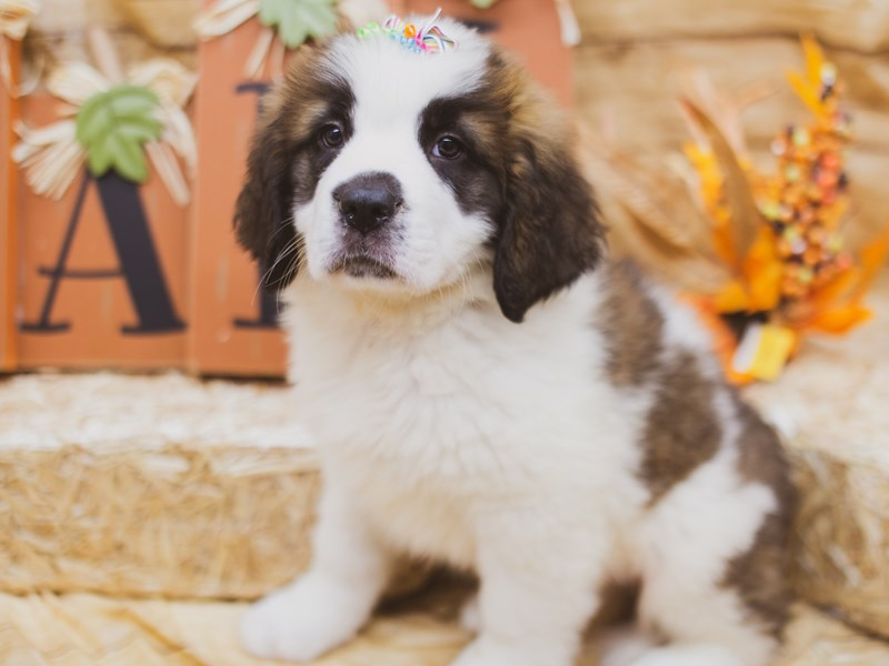 Saint Bernard-DOG-Female-Mahagony & White-2856083-Petland Wichita, KS