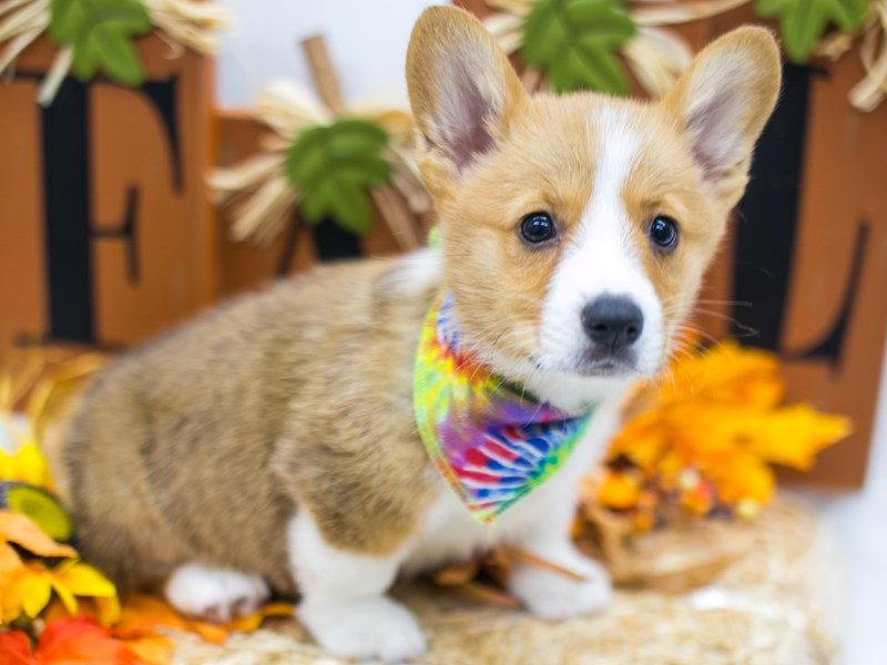 Pembroke Welsh Corgi-Male-Red & White-2863637-Petland Wichita, KS