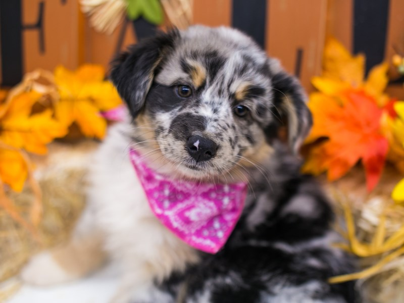 Mini Border Aussie-Female-Blue Merle White & Tan-2871629-Petland Wichita, KS