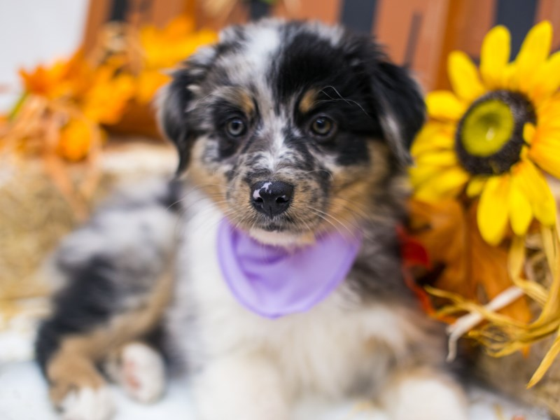 Mini Border Aussie-Female-Blue Merle White & Tan-2871613-Petland Wichita, KS