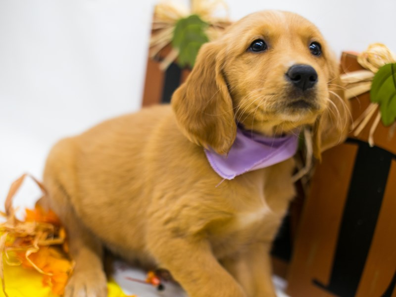 Golden Retriever-Female-Golden-2877936-Petland Wichita, KS
