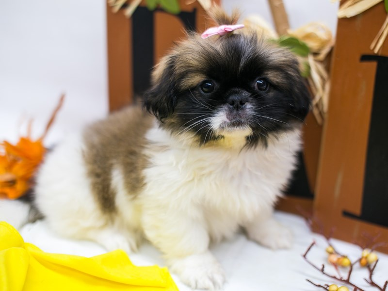 Pekingese-Female-Gold & White-2877905-Petland Wichita, KS