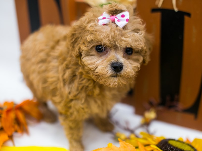 Toy Poodle-Female-Red-2877763-Petland Wichita, KS