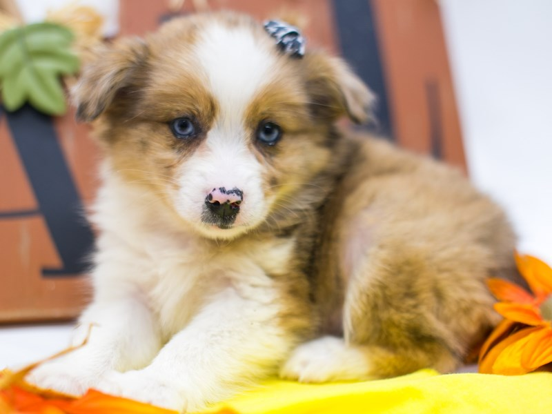 Miniature Australian Eskimo-Female-Merle w/Blue Eyes-2884891-Petland Wichita, KS