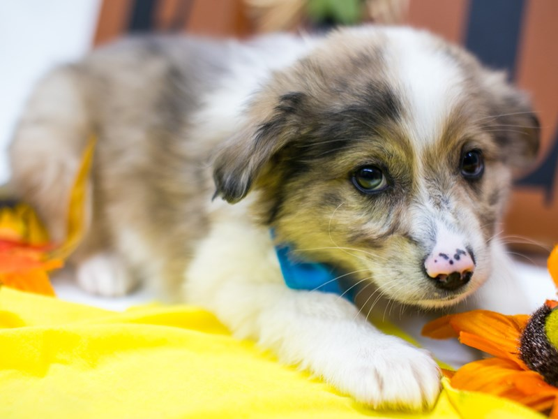 Miniature Australian Eskimo-Male-Merle w/Blue Sparkle in Eye-2884884-Petland Wichita, KS