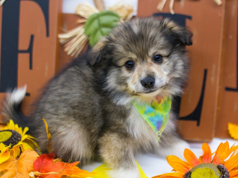 Miniature Australian Eskimo-DOG-Male-Dark Sable-2884881-Petland Wichita, KS