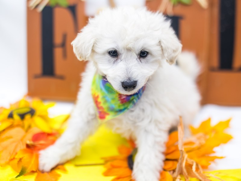 Mini EskiPoo-DOG-Male-Cream-2884864-Petland Wichita, KS