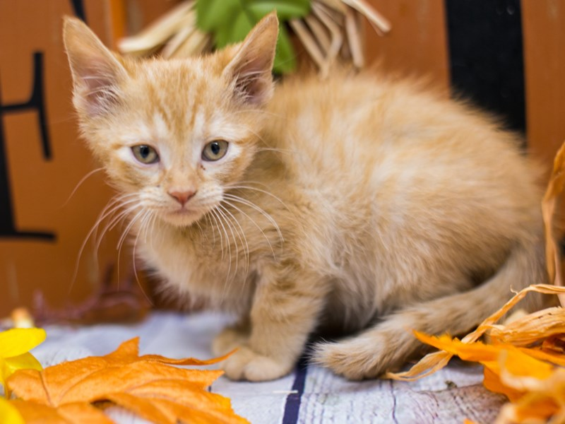 Adopt A Pet Kitten-Male-Orange Tabby Medium Hair-2891878-Petland Wichita, KS